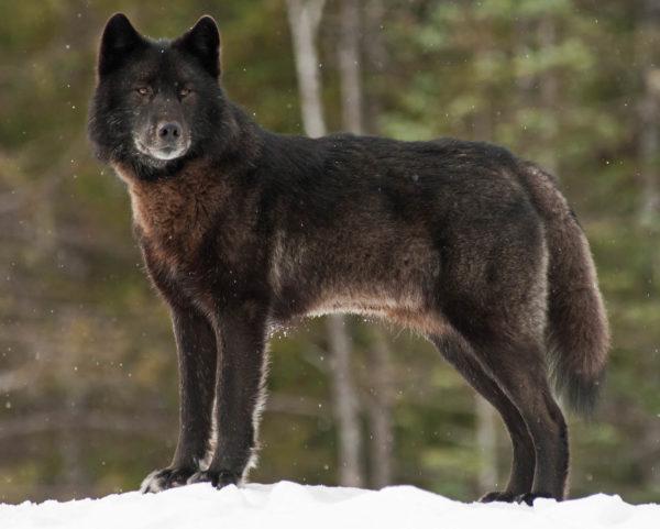 A Wolf Called Romeo JPEG