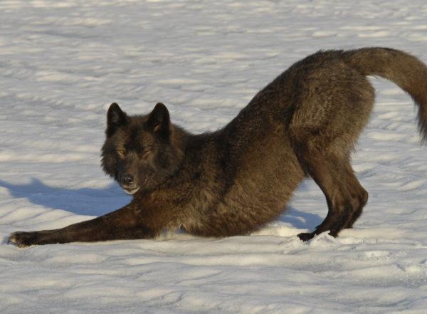 Buddy Wolf