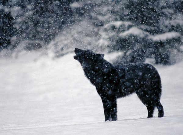 Snow Howl
