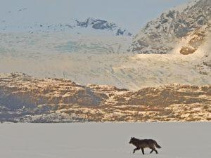 The Glacier Wolf